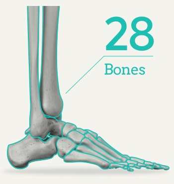 拇指外翻/拇趾外翻/Bunion 28-bones-in-the-human-foot